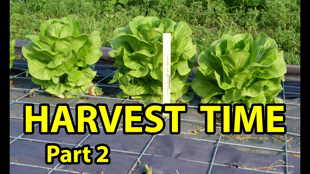 how to know when to pick cos lettuce