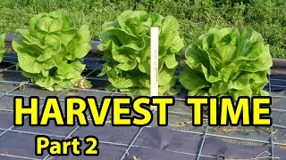 Garden Harvest - ROMAINE Lettuce - Grown Undercover in Summer 2016, Gardening 101, Part #2