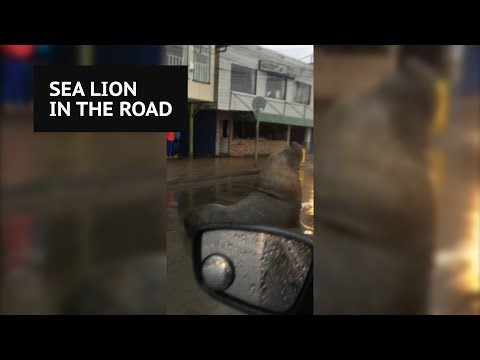 Massive sea lion casually blocks traffic in middle of Chilean town