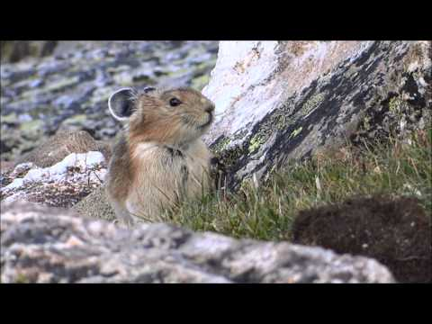 Meet the American Pika!