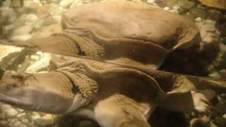 Мягкотелая китайская черепаха