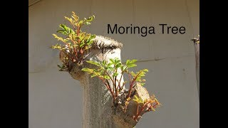 Moringa Tree Update - March 4th 2019