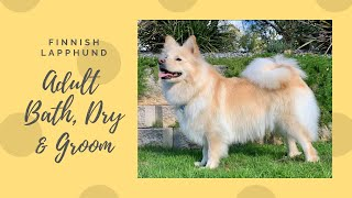 Finnish Lapphund Adult Bath Blow Dry & Brush