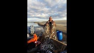 Промысловая ловля речной ряпушки (зельдя). Рыбалка сетями на крайнем севере.