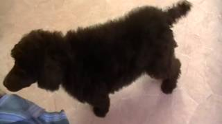 Cafe Au Lait Standard Poodle Puppy