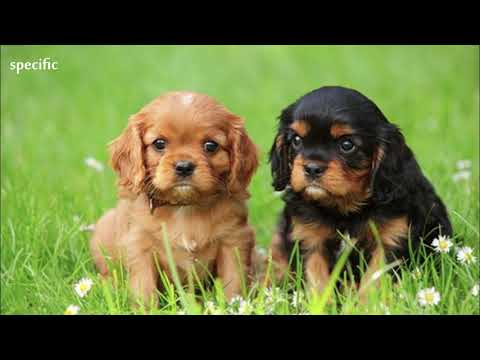Details about Cavalier king charles spaniel Specific information about animals  Animal wikipedia ser