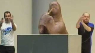 A Walrus With All The Moves