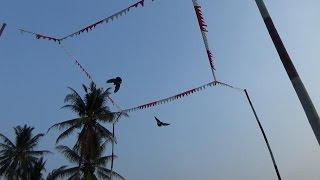 melihat merpati/ burung dara balap kolongan ( lomba kecil )