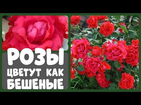 После такой подкормки розы будут цвести, как бешеные!