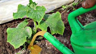 Полейте этим любое пожелтевшее растение и оно зазеленеет на глазах! Железосодержащие подкормки!