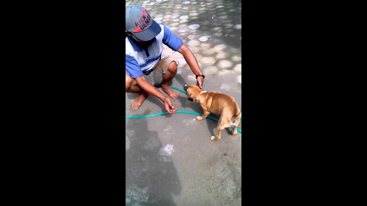 Cara Membuat Anjing Menjadi Jinak Baik Dan Patuh Pada Majikannya Sbt Youtube