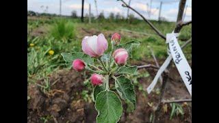 Sadzenie drzew owocowych  - też możesz to zrobić