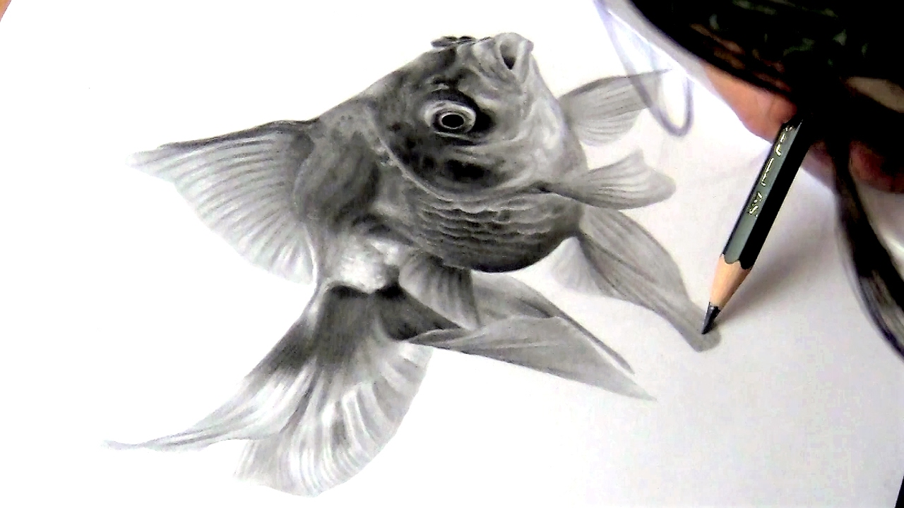 Drawing a gold fish graphite pencil drawing