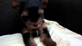 Angry Puppy- Yorkshire Terrier