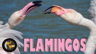 Front row Flamingo|  France 4k