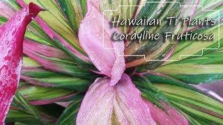 Growing Cordyline Fruticosa || Hawaiian Ti Plants