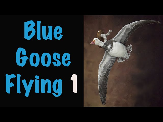 Blue Goose Taxidermy Part 1-2. Waterfowl Taxidermy.