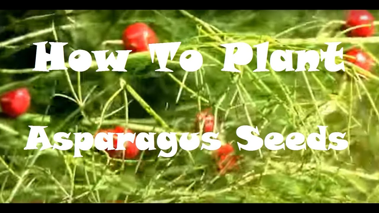 Plant Asparagus seeds in the fall, and have Asparagus ... Planting Asparagus In The Fall