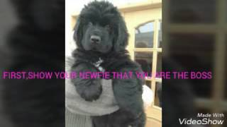 Basic newfoundland puppy training video tips