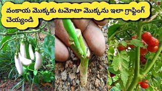 వంకాయ మరియు టమాటా మొక్కలకు ఇలా అంటు కట్టండి  grafting eggplant
