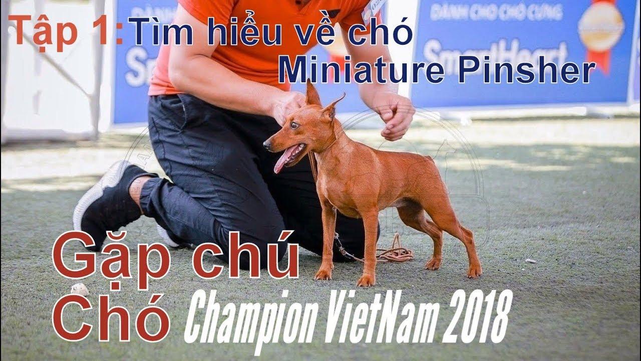 T1: Tìm hiểu giống chó Miniature Pinsher/Gặp nhà Vô địch 2018/NhamTuatTV-Dog in Vietnam