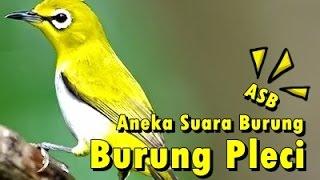 Aneka Suara Burung - Suara Burung Pleci