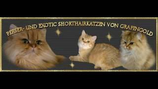 Наш питомник Персидских Кошек