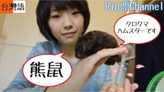 【倉鼠熊鼠】 癢君生活日常 - 台湾人が飼うペットの動画 台湾語版