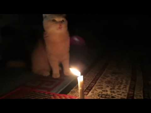 British shorthair cat burns his whiskers