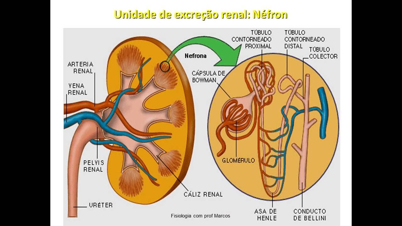 Lujo Sistema Colector Renal Anatomía Regalo - Imágenes de Anatomía ...