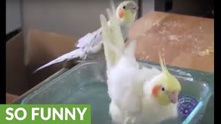 Cockatiel bath time turns into singing spectacle!