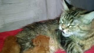 Котята Мейн-куны красный солид и красного тигрового окраса