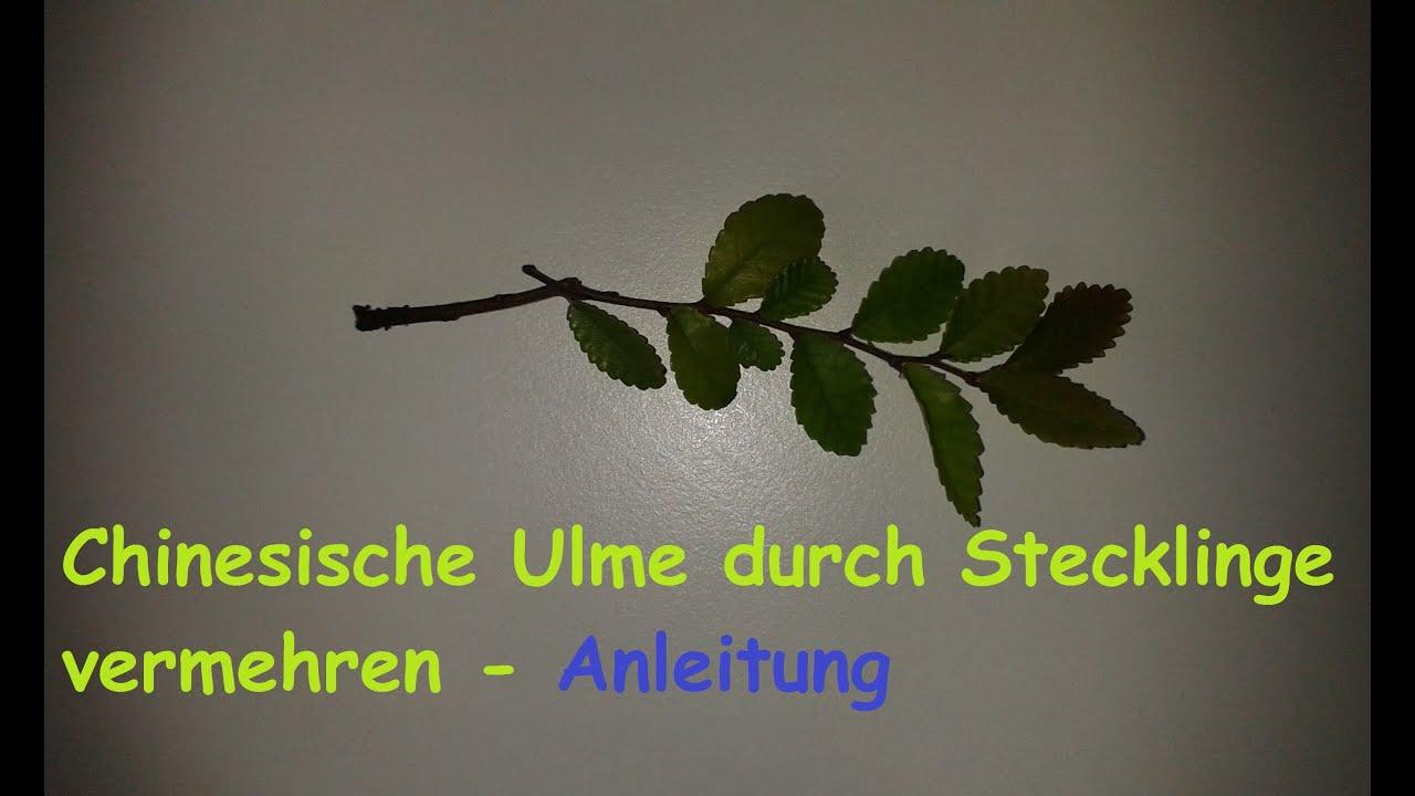 Stecklinge Selber Ziehen : chinesische ulme ulmus parvifolia aus steckling selber ~ Lizthompson.info Haus und Dekorationen
