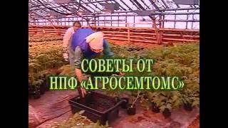 видео Томаты в теплице — секреты профессионалов