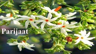 Parijaat tree and flowers