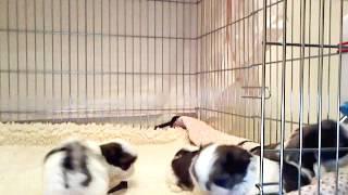 Www.ncshihtzupalace.com Shih Tzu Puppies In Nc Shih Tzu Info Breeder