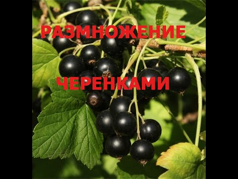 //Размножение черной СМОРОДИНЫ ЧЕРЕНКАМИ//