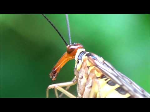 Amazing footage of a female ScorpionFly eating  a Dragonfly