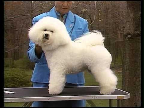Bichon Frise - AKC Dog Breed Serie
