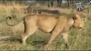 象対野生動物の虎と戦う - Hyna対ライオンを!この本当の戦い . Subscri...