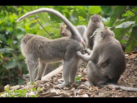 Macacos traiçoeiros - videos divertidos