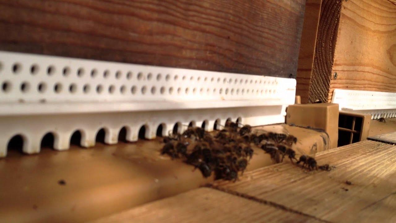 D fense des abeilles contre le frelon asiatique youtube - Abeille nid dans le sol ...