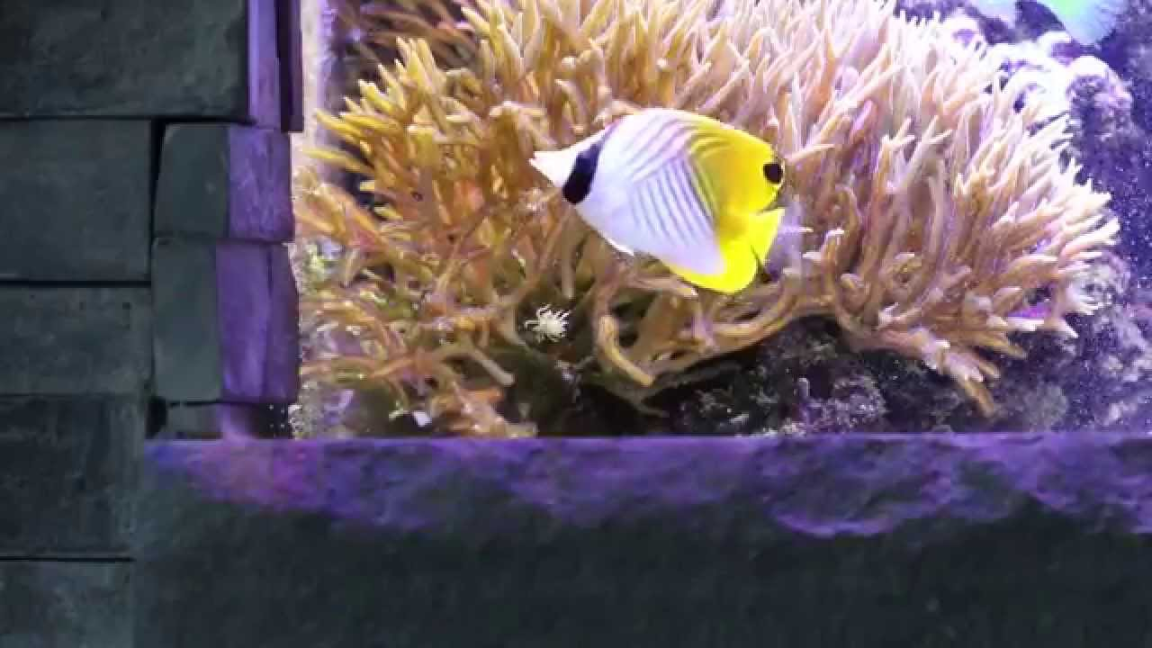 Auriga butterfly fish eating aiptasia youtube for Aiptasia eating fish