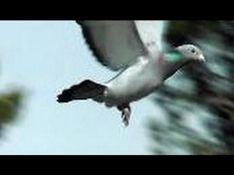 """American Pigeon Racing"" Documentary Film 2016"