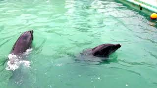 【おもしろ動物動画】 イルカが勝手に簡単なショーをしてくれました。 ...