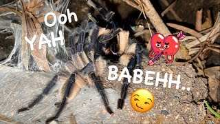 Playboy Tarantula STRIKES AGAIN !!! ~ This time with ZERO HESITATION !!!
