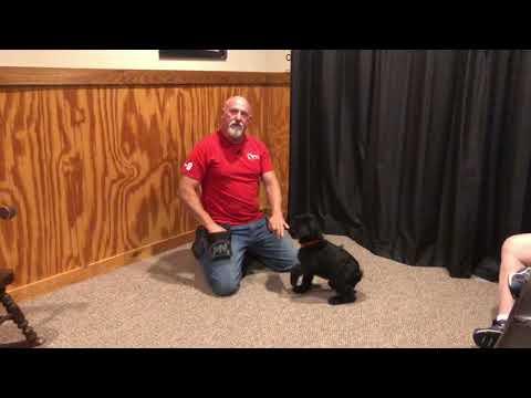 Tripp von Prufenpuden 9 Wks Giant Schnauzer Male For Sale W/Additional Training
