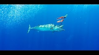 """Underwater Zebras"" Giant Great Harbor Wahoo"