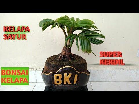 Bonsai Kelapa Super Kerdil Kelapa Sayur Youtube