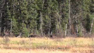 Moose Hunt 2014 Inverness
